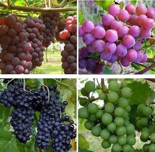 19 Khasiat Buah Anggur Merah untuk Kesehatan