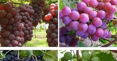 Manfaat Buah Anggur Merah Untuk Diet