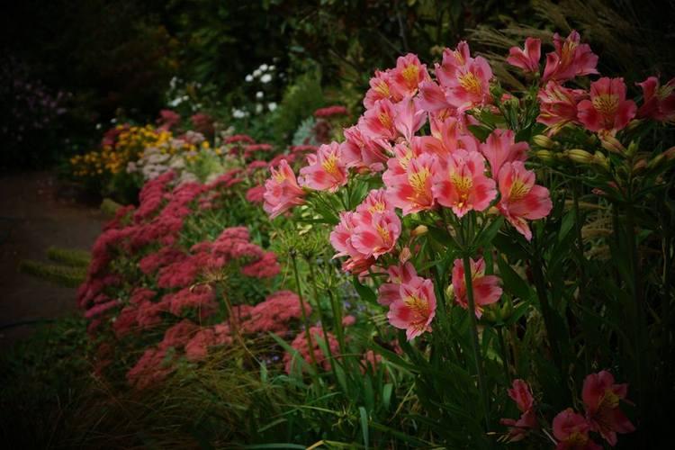Alstroemeria e Hylotelephium en Brickendon Historic Farm and Garden. Tasmania, Australia