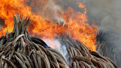 Le Kenya son stock d'ivoire pour dénoncer le braconnage.