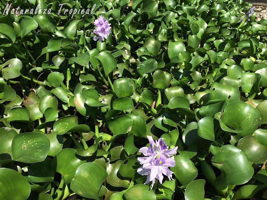 Otra fotografía de la planta Jacinto de Agua, Eichhornia crassipes