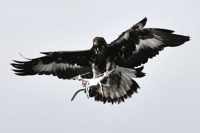 Francia recluta Águilas para derribar Drones de terroristas