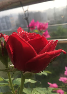 A photograph of a red rose plant