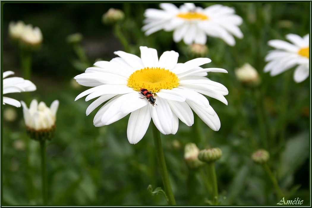 Aux jardins d 39 am lie fleurs et insectes au jardin for Fleurs thes au jardin