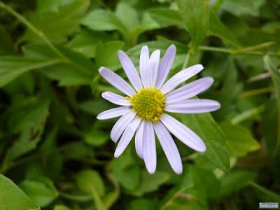 マーガレットに似た花