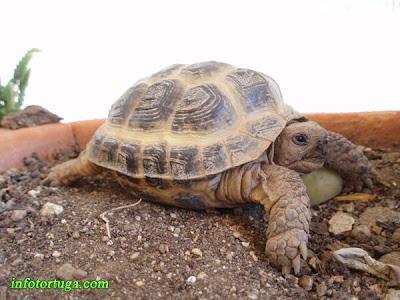 Bonito ejemplar de tortuga rusa