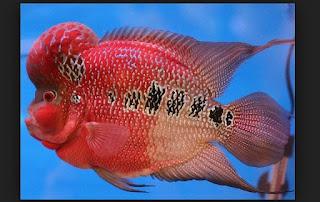 ikan louhan yang berkualitas