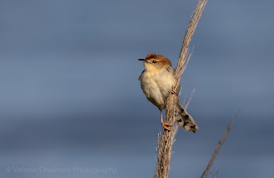 Little Cisticola on guard in the Table Bay Nature Reserve
