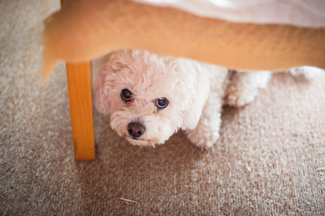 How to do desensitization and counter-conditioning to help fearful dogs like this little Maltese hiding under the bed