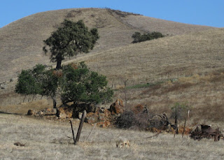 Coyote in a field along Hellyer Road, San Jose, California