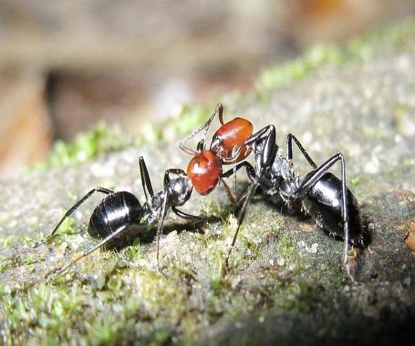 https://www.bioorbis.org/2014/06/ate-morte-formigas-guerreiras.html