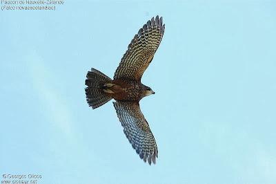 Halcón maorí Falco novaeseelandiae