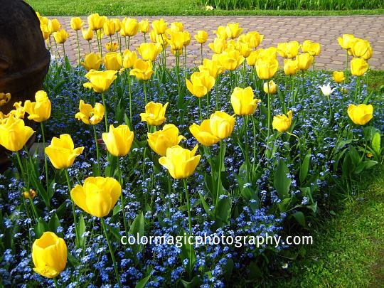 Forget me nots and yellow tulips