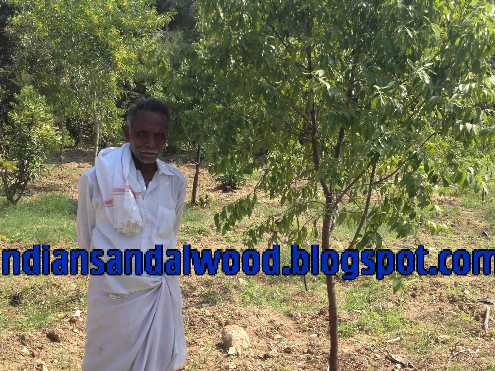 20kg Per Tree 9000 Kgs Qty Of Sapwood 30kg 13500 Average Cost