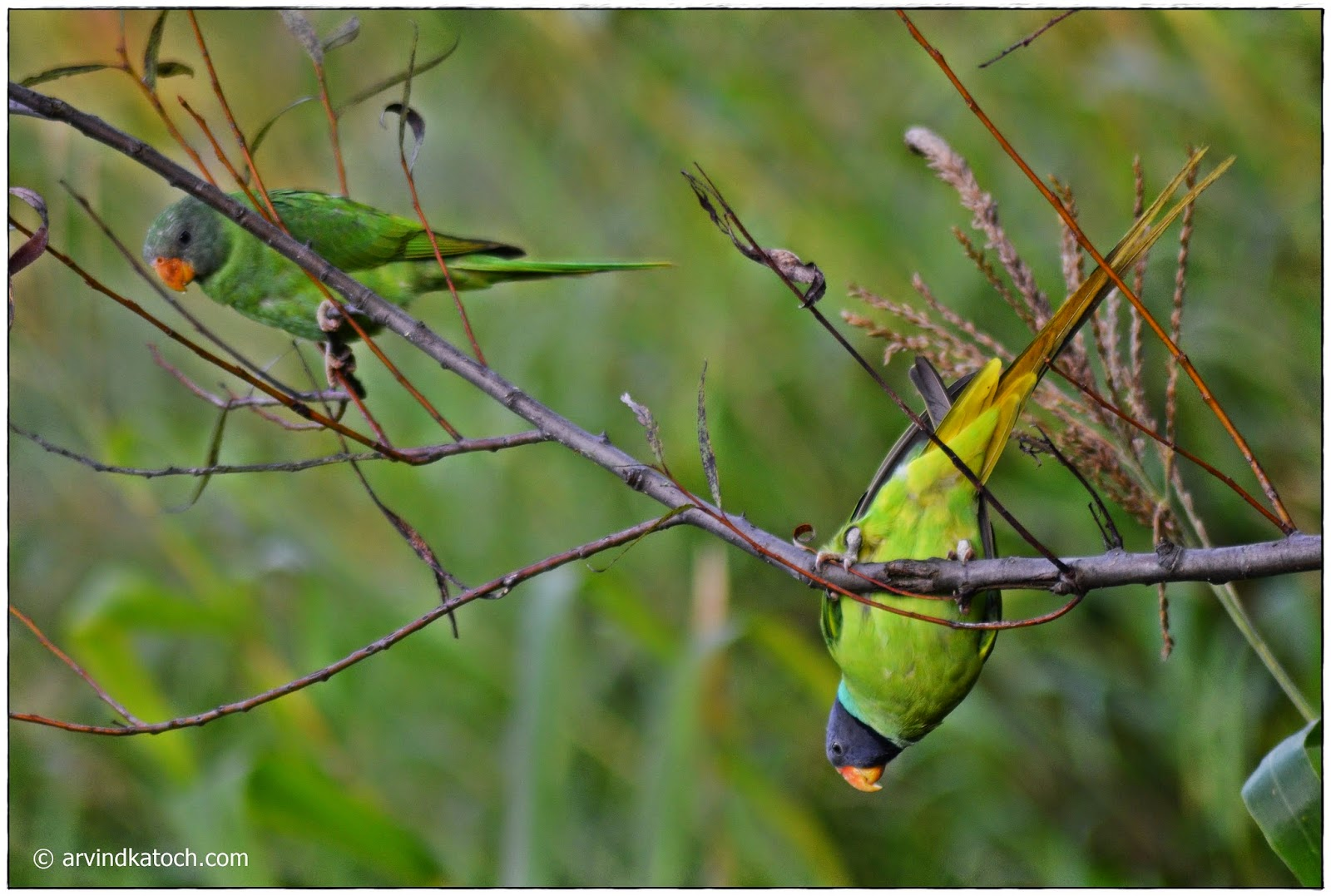 Tree, Branch, Parrots, Slaty-headed Parakeet