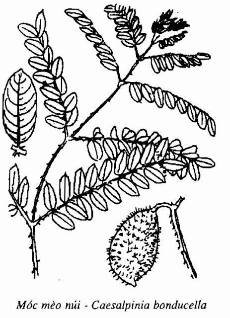 Hình vẽ Móc Mèo Núi - Caesalpinia bonducella - Nguyên liệu làm thuốc Chữa Cảm Sốt