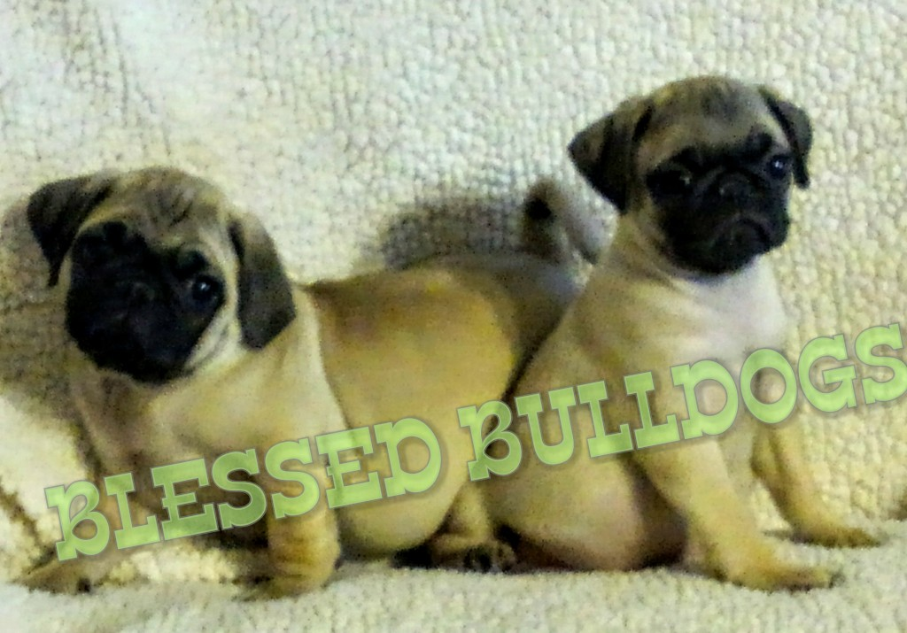 BLESSED BULLDOGS: PUG PUPPIES