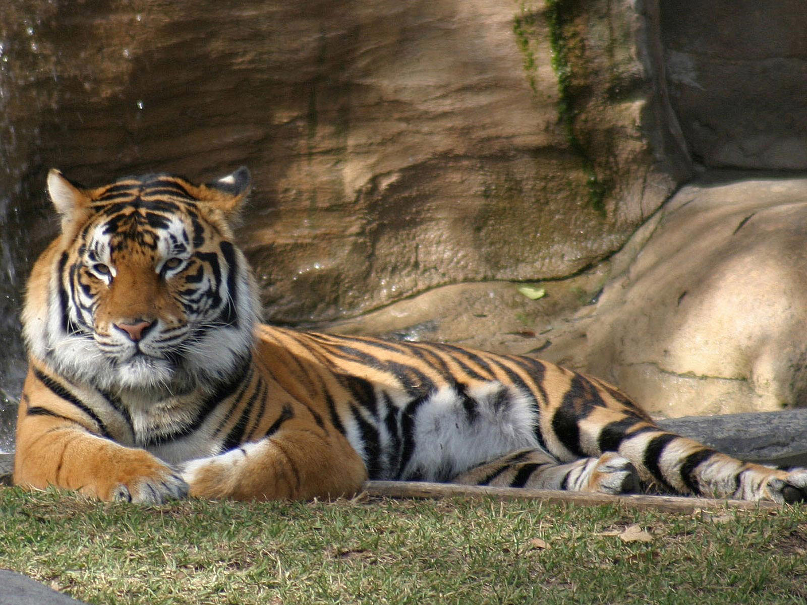 Animal Tiger Free Wallpapers