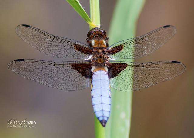 Male, Dragonflies