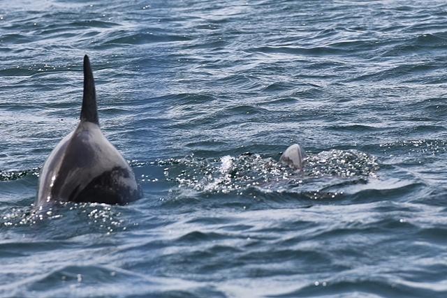 Delfines en Bocas del Toro