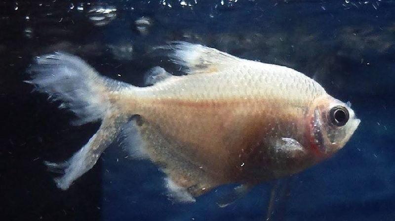 Ikan Berenang Cepat Lalu Kembali Lagi Adalah Ciri Ciri Ikan Hias sakit Atau Stres