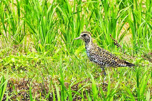 bird, Pacific Golden Plover