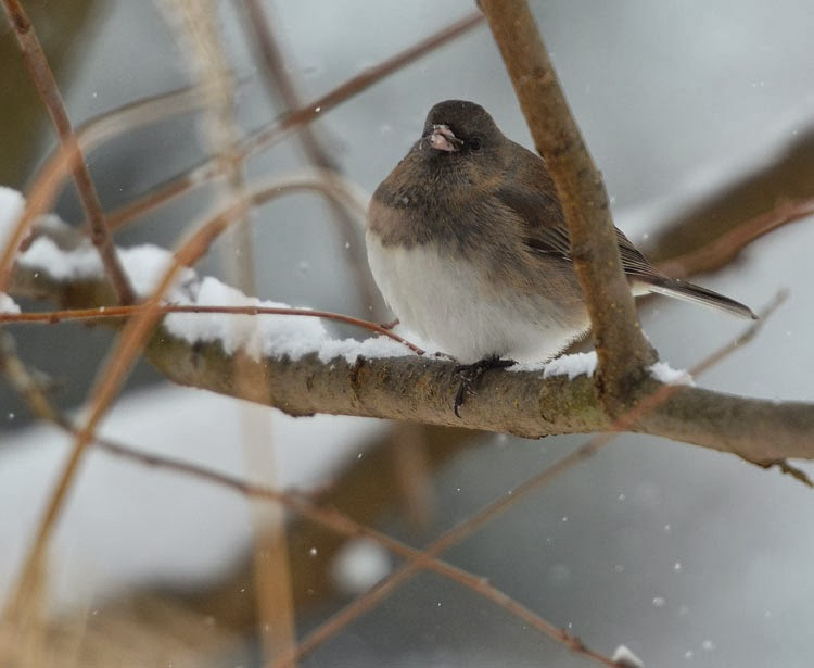 By fluffing a bird can puff up feathers to keep the cold out. When fully puffed up, birds look like balls of fluff!