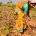 Monsanto Has Lost $11million As Indian Cotton Farmers Begin To Use Indigenous Seed
