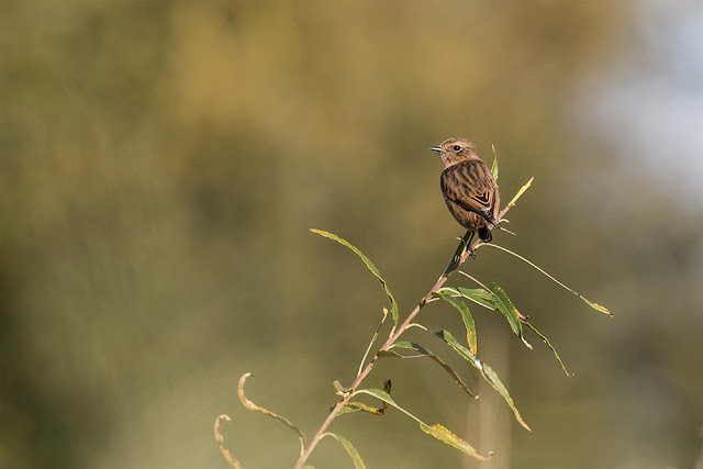 1st Winter Stonechat at Manor Farm