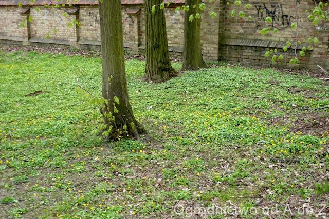 Ranunculus ficaria