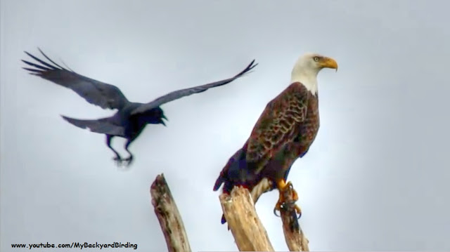 Crow Harasses Eagle