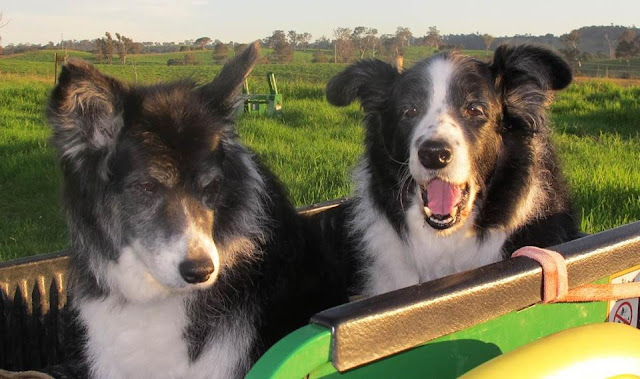 Boarder collie lymphoma; canine cancer research