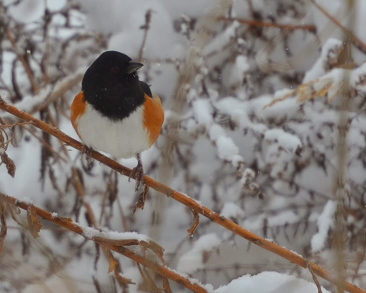 Rufous-sided Towhee was the previous name for this bird. The rusty orange-red sides attest for that!