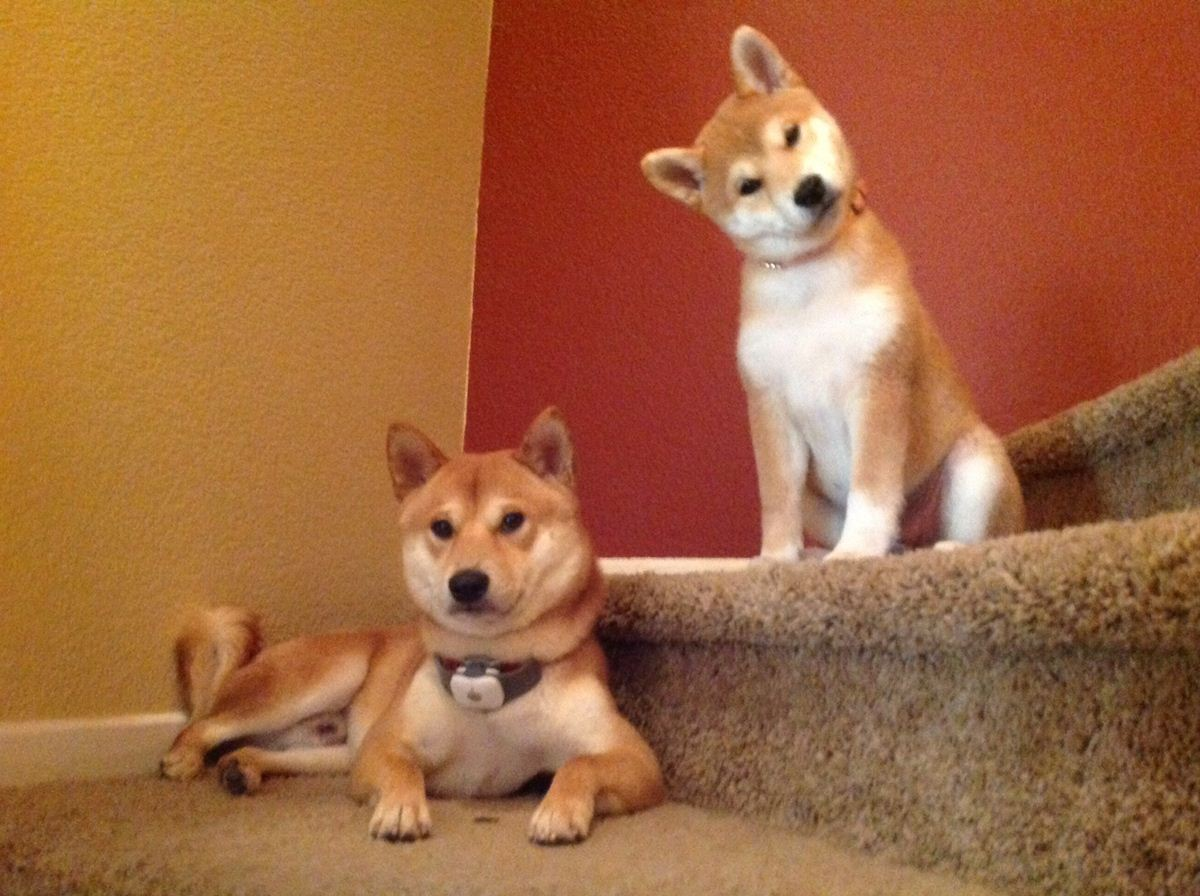 dog funny cute shiba inu dogs animals puppy puppies stairs cutest capitainrock2001 these doge imgur amazing inus birdie animal pets