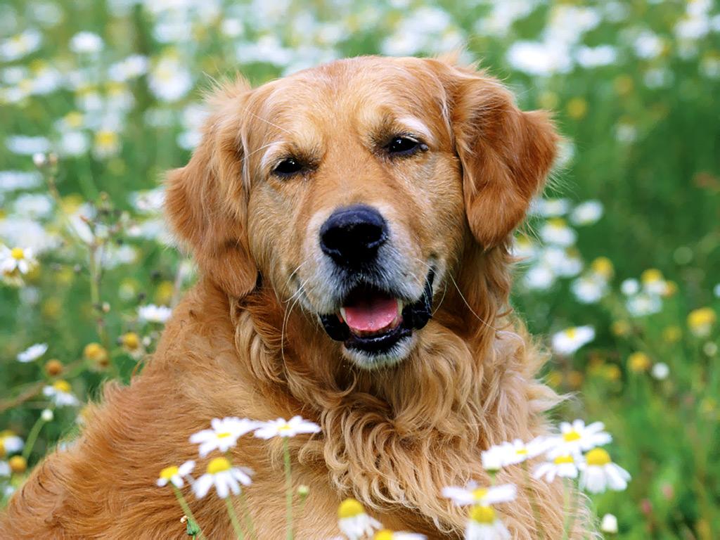 Golden Retriever - Animals Photos