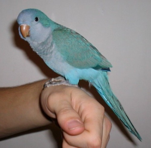 Hello Friends blue quaker parrot