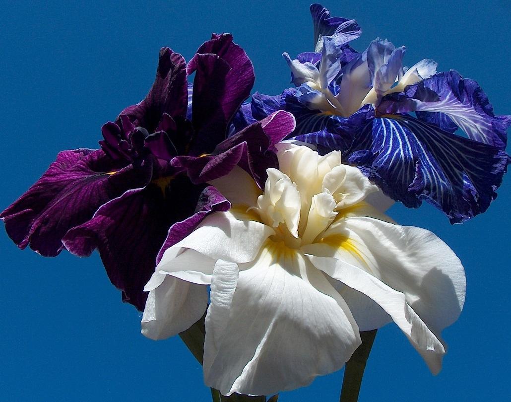 World Of Irises Colors Patterns Of Japanese Iris