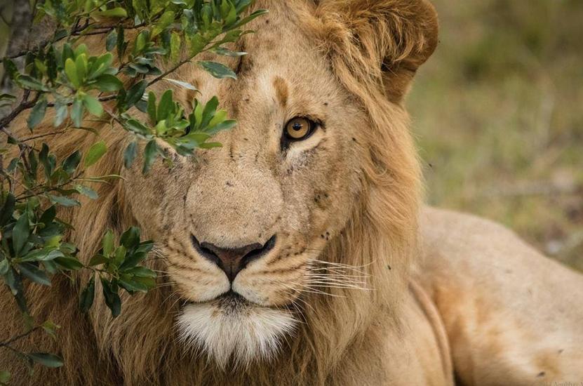muso leone