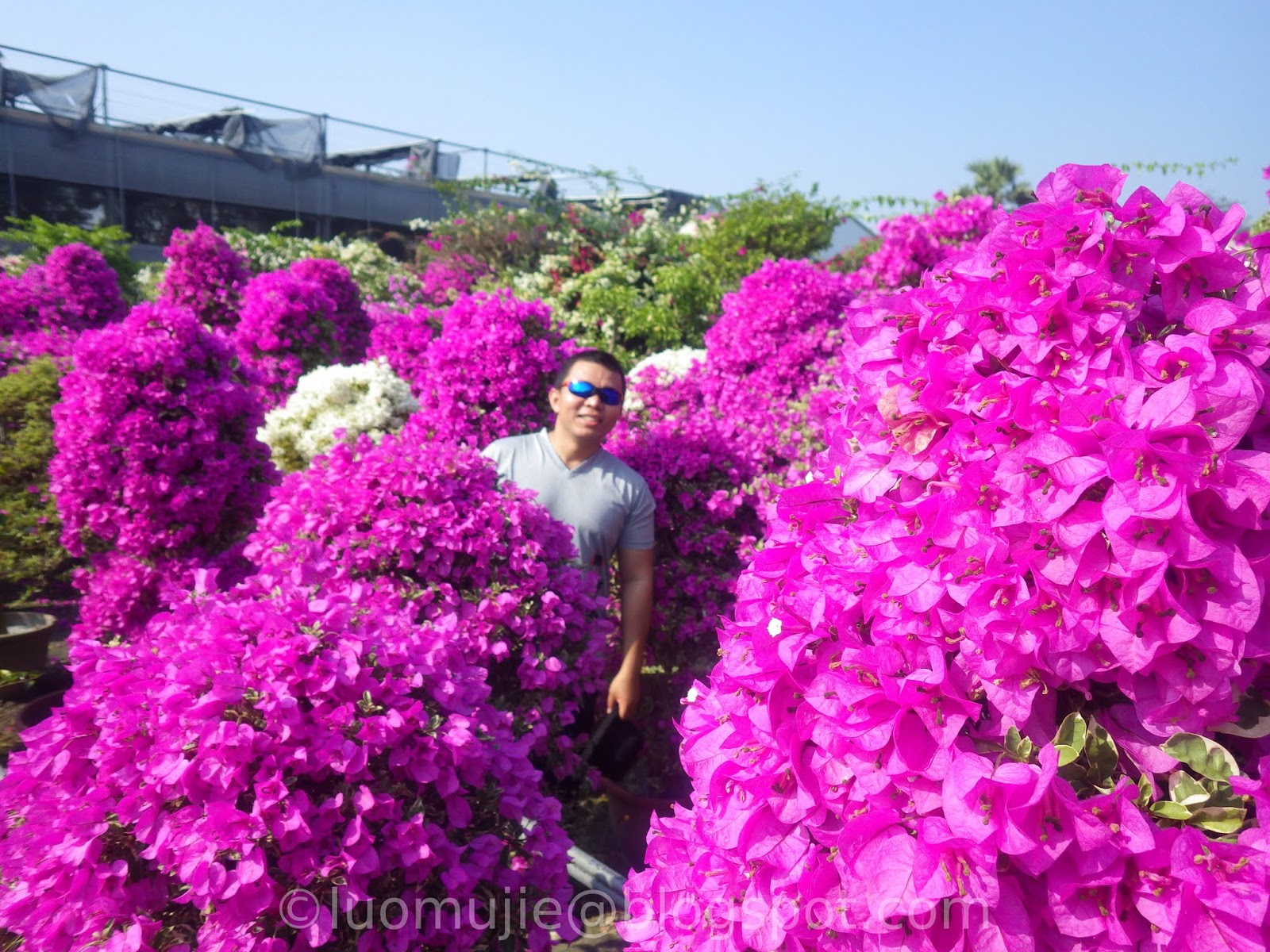 Changhua Bougainvillea