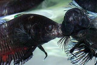 48 Gambar Ikan Cupang Petarung Terbaru