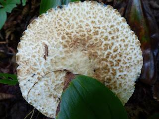 Bolet bleuissant - Gyroporus cyanescens