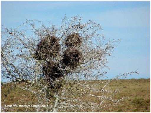 Nidos de aves construidos con ramitas - Chacra Educativa Santa Lucía