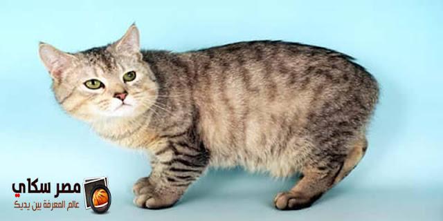 تعرف على أهم سلالات وأنواع القطط لمحبي الحيوانات الأليفة بالصور