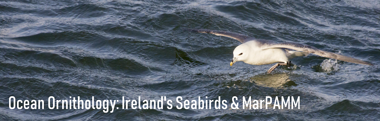 Ocean Ornithology: Ireland's Seabirds and MarPAMM Project