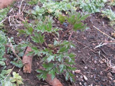 Anemone coronaria leaves