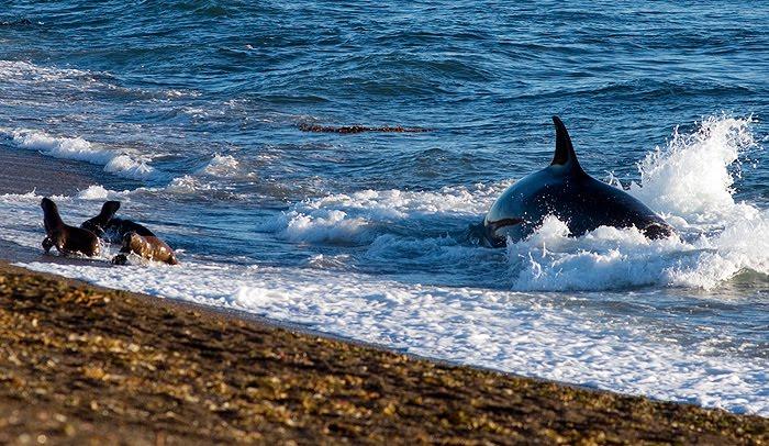 Orcas y su varamiento intencional en Punta Norte Península Valdés