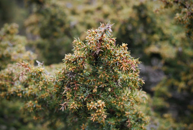 Juniper - Glen Tanar Estate walk