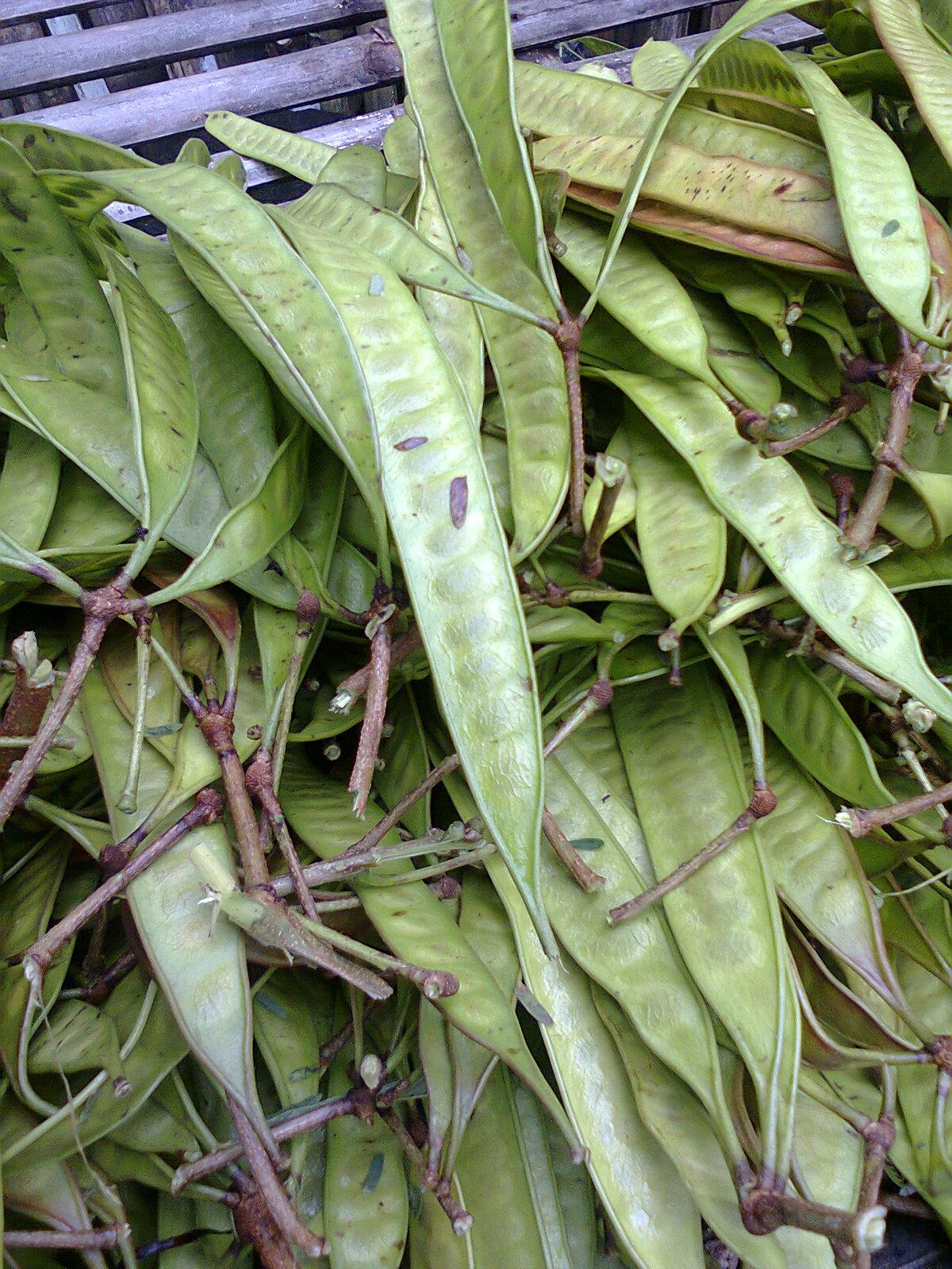 biji lamtoro kegunaan dan khasiat untuk kesehatan - Ilham ...