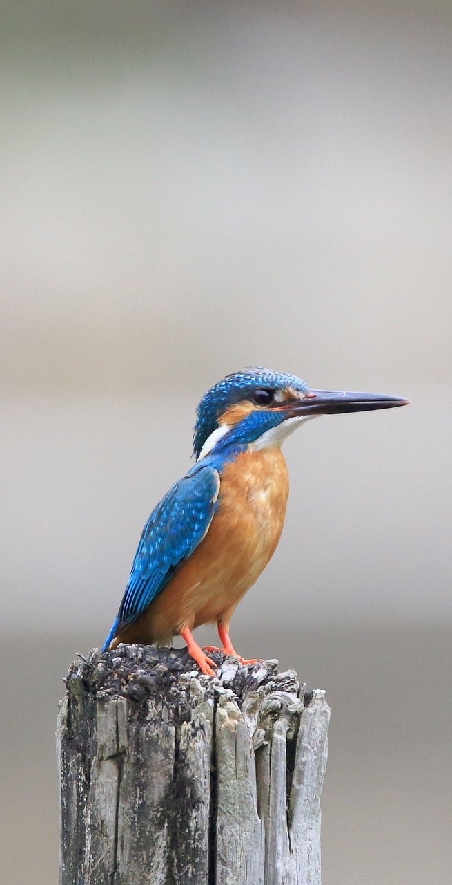 A kingfisher on top of a wooden post.