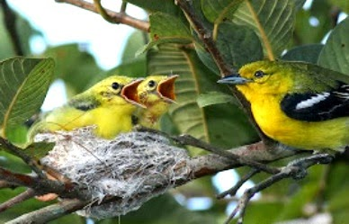 Kumpulan Foto Burung Sirtu Terbaik Foto Burung Kicau